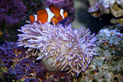Pesci ed anemone tropicali Fotografia Stock