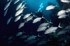 Pesci ed operatore subacqueo. immagine stock