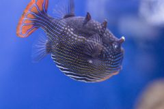 Pesci esotici in acquario Fotografia Stock Libera da Diritti