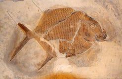 Pesci fossili immagine stock libera da diritti
