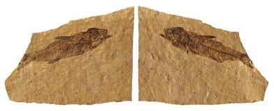 Pesci fossili Immagine Stock