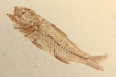 Pesci fossili Fotografie Stock