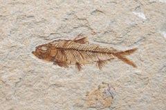 Pesci fossili Immagini Stock