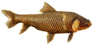 Pesci fossili Fotografia Stock Libera da Diritti