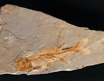 Pesci fossili Fotografie Stock Libere da Diritti