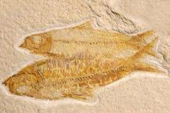 Pesci fossili (eocene) Fotografie Stock