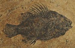 Pesci fossili - Priscacara Fotografie Stock Libere da Diritti