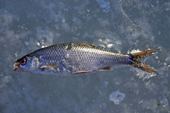 Pesci freddi immagine stock