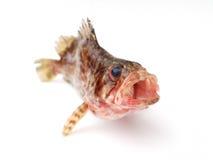 Pesci freschi Fotografia Stock Libera da Diritti