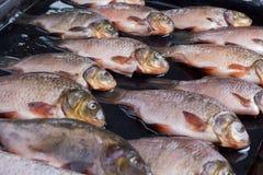 Pesci freschi del fiume Fotografia Stock