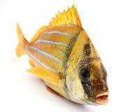 Pesci freschi dell'oro Immagini Stock