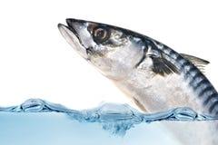 Pesci freschi dello scombro Immagini Stock