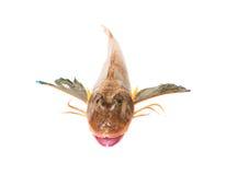 Pesci freschi isolati su bianco Immagini Stock Libere da Diritti
