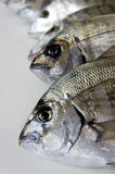 Pesci freschi nell'ambito degli indicatori luminosi dello studio Immagini Stock Libere da Diritti