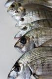 Pesci freschi nell'ambito degli indicatori luminosi dello studio Fotografia Stock