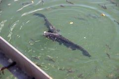 Pesci gatto giganti, zona di Chornobyl Fotografie Stock