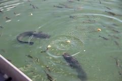 Pesci gatto giganti, zona di Chornobyl Fotografia Stock