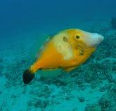 Pesci gialli Fotografia Stock Libera da Diritti