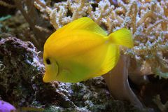 Pesci gialli Immagine Stock Libera da Diritti