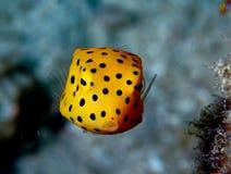 Pesci gialli della casella Fotografia Stock