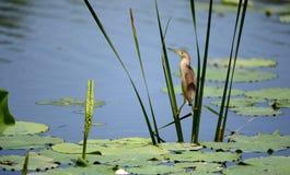 Pesci gialli della cattura di Jian della coda Immagini Stock