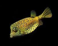 Pesci gialli della scogliera del pesce palla dei pesci della casella fotografia stock libera da diritti
