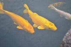 Pesci gialli di koi Immagini Stock
