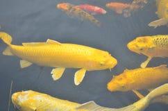 Pesci gialli di koi Immagine Stock Libera da Diritti