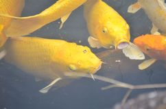 Pesci gialli di koi Immagini Stock Libere da Diritti