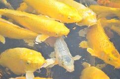 Pesci gialli di koi Fotografia Stock Libera da Diritti