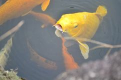 Pesci gialli di koi Fotografie Stock Libere da Diritti
