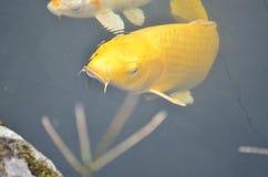 Pesci gialli di koi Fotografie Stock