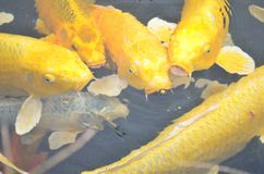 Pesci gialli di koi Immagine Stock