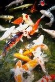 Pesci giapponesi Fotografia Stock