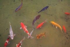 Pesci giapponesi di Koi Fotografie Stock Libere da Diritti
