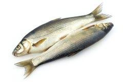 Pesci grezzi Fotografia Stock