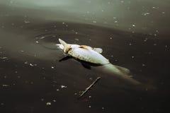 Pesci guasti in acque contaminate Fotografia Stock Libera da Diritti