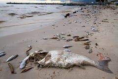 Pesci guasti sulla spiaggia Fotografie Stock Libere da Diritti