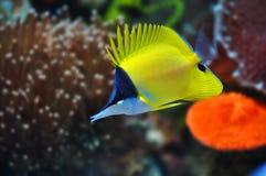 Pesci lunghi della bocca del naso di giallo tropicale del mare Immagine Stock