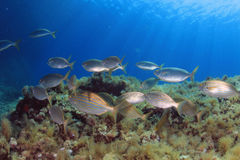 Pesci Mediterranei Fotografia Stock