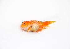 Pesci morti dell'oro Fotografia Stock