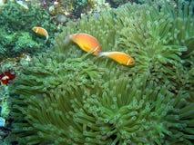 Pesci multipli del pagliaccio della moffetta in anemones Fiji Immagini Stock Libere da Diritti