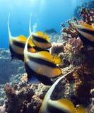 Pesci nel Mar Rosso fotografia stock
