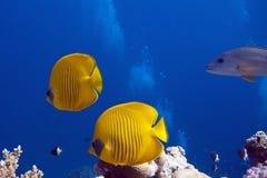 Pesci nel Mar Rosso immagini stock libere da diritti
