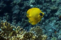 Pesci nel Mar Rosso Immagine Stock
