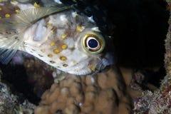 Pesci nel Mar Rosso Immagini Stock