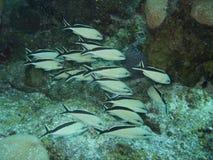 Pesci nel Messico caraibico Fotografia Stock Libera da Diritti