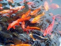Pesci nel sahib del harmandir sarovar Immagini Stock