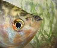 Pesci nell'acquario Fotografia Stock