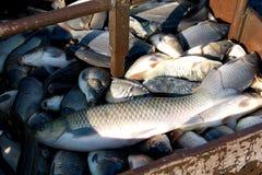 Pesci nelle reti da pesca Immagini Stock